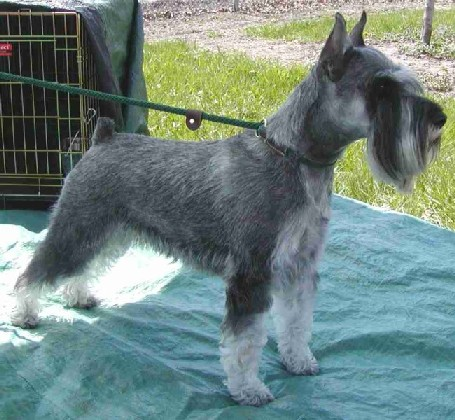 uk standard schnauzer breeders grooming dog puppies reviews articles m. Black Bedroom Furniture Sets. Home Design Ideas