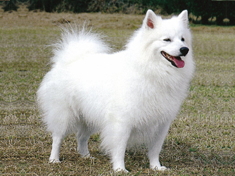 American Eskimo Dog For Sale In Columbus