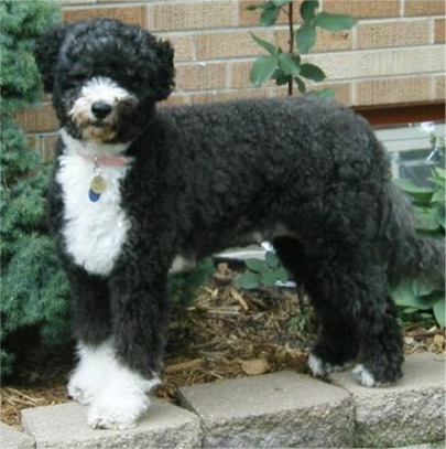 Portuguese Water Dog Puppies For Sale Nz