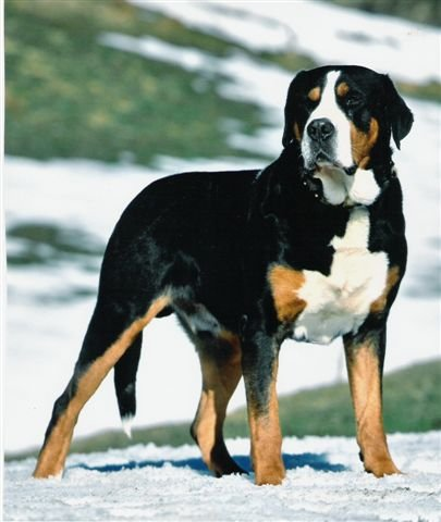 Philippines Greater Swiss Mountain Dog Breeders Grooming