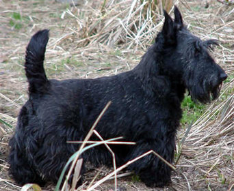 how to become a dog breeder nz