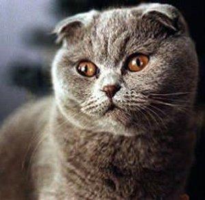 Pakistan, Scottish Fold Breeders, Grooming, Cat, Kittens, Reviews, Articles  - Muamat