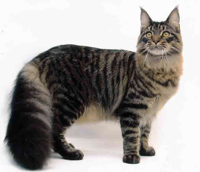 Maine Coon Kittens For Sale Kansas City